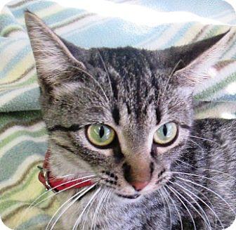 Domestic Shorthair Cat for adoption in Lloydminster, Alberta - Pisces