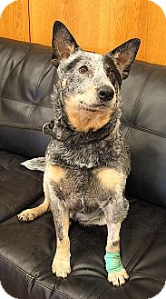 Australian Cattle Dog Mix Dog for adoption in Rapid City, South Dakota - Rascal