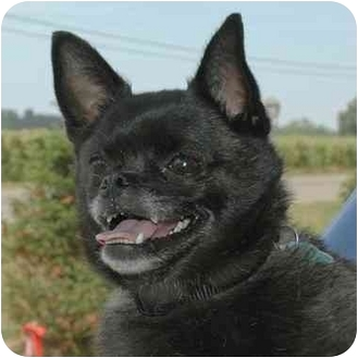 Pug/Chihuahua Mix Dog for adoption in Westfield, New York - Binx