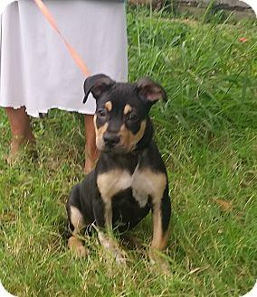 Rottweiler Mix Puppy for adoption in Houston, Texas - Eddie Munster