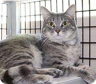 Domestic Shorthair Cat for adoption in Glendale, Arizona - Lightning
