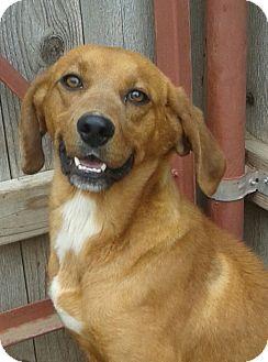 Hound (Unknown Type)/Labrador Retriever Mix Dog for adoption in Manhattan, Kansas - Peaches