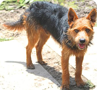 Welsh Terrier Mix Dog for adoption in Allentown, Pennsylvania - Bruce - Gentle boy