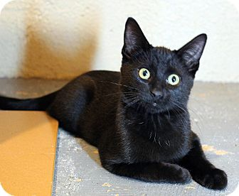 Domestic Shorthair Kitten for adoption in Troy, Michigan - Fluffer Nutter Sandwich