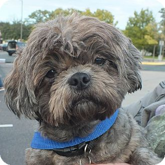 Shih Tzu Mix Dog for adoption in Minneapolis, Minnesota - NewNew