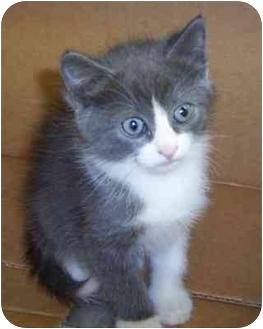 Domestic Mediumhair Kitten for adoption in Overland Park, Kansas - Laci
