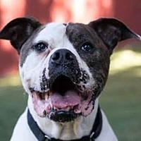 American Bulldog Mix Dog for adoption in Beverly Hills, California - Daytona