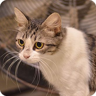 Domestic Shorthair Cat for adoption in Brooksville, Florida - 10311293 ABBY