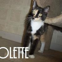 Adopt A Pet :: COLETTE - Franklin, NC