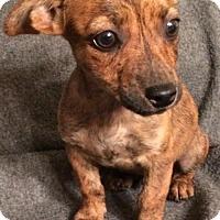 Adopt A Pet :: Cruz - Boston, MA