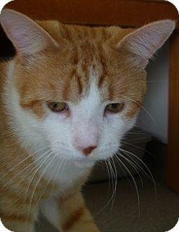 Domestic Shorthair Cat for adoption in Hamburg, New York - Handsome Howard