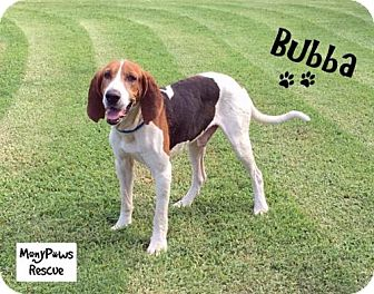 Treeing Walker Coonhound Dog for adoption in Fort Worth, Texas - Bubba---COURTESY LISTING