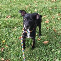 Adopt A Pet :: Little Ruby - Anderson, IN