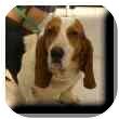 Basset Hound Dog for adoption in Marietta, Georgia - Joseph