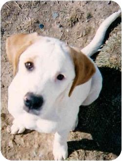 Pointer/Terrier (Unknown Type, Medium) Mix Dog for adoption in Greensboro, North Carolina - Pastel