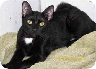 Domestic Shorthair Cat for adoption in Houston, Texas - Charmer