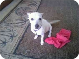 Chihuahua/Rat Terrier Mix Puppy for adoption in Jacksonville, Florida - Sparky