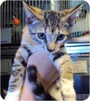 Domestic Shorthair Kitten for adoption in West Warwick, Rhode Island - Alena