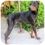 Photo 4 - Doberman Pinscher Dog for adoption in Las Vegas, Nevada - Merlin