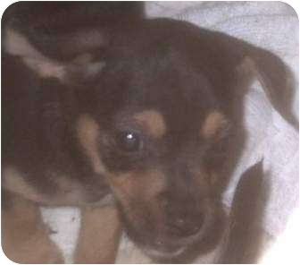 Fox Terrier (Wirehaired)/Chihuahua Mix Puppy for adoption in Muskogee, Oklahoma - Ottis