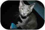 British Shorthair Kitten for adoption in Lake Ronkonkoma, New York - Scribble & Scrabble
