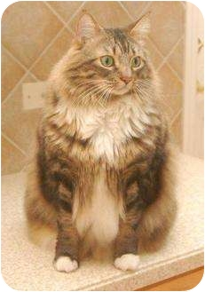 Maine Coon Cat for adoption in Franklin, North Carolina - Tucker
