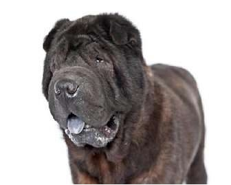 Shar Pei Dog for adoption in Gainesville, Florida - Elijah