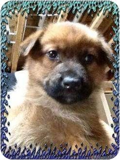 Shepherd (Unknown Type) Mix Puppy for adoption in Lloydminster, Alberta - ACE