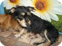 Terrier (Unknown Type, Small) Mix Dog for adoption in Las Vegas, Nevada - Dutchess-N