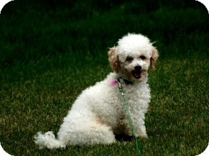 Poodle (Toy or Tea Cup) Mix Dog for adoption in North Benton, Ohio - Barkley toy poodle