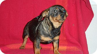 Dachshund/Rat Terrier Mix Puppy for adoption in Seattle, Washington - Frappe