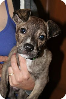 Terrier (Unknown Type, Small) Mix Puppy for adoption in Astoria, New York - Gerald