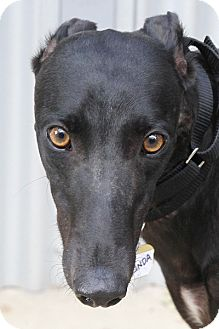 Greyhound Dog for adoption in Santa Rosa, California - Glinda