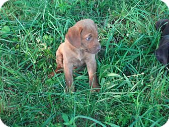 Labrador Retriever Mix Puppy for adoption in Conway, New Hampshire - Cherry