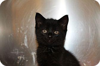 Domestic Shorthair Kitten for adoption in Windsor, Virginia - Denzel