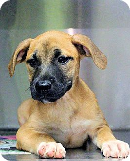 Labrador Retriever Mix Puppy for adoption in Williston, Vermont - Whitney