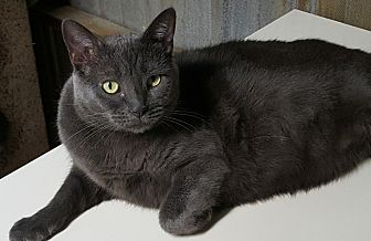 Russian Blue Cat for adoption in Pasadena, California - Bleu