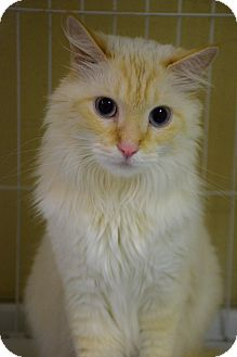 Domestic Longhair Cat for adoption in Bradenton, Florida - Olaf