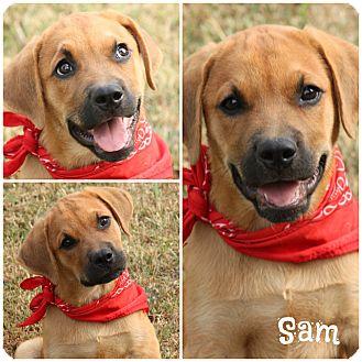 Labrador Retriever/Boxer Mix Puppy for adoption in Haggerstown, Maryland - Sam