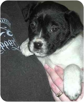 Beagle/Border Collie Mix Puppy for adoption in Springdale, Ohio - Olive