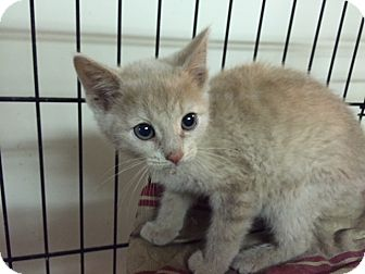 Domestic Shorthair Kitten for adoption in Forest Hills, New York - Corey