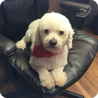 Bichon Frise/Poodle (Miniature) Mix Dog for adoption in Rocky Hill, Connecticut - Dobby