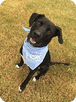 Labrador Retriever Mix Dog for adoption in Huntsville, Alabama - Bo