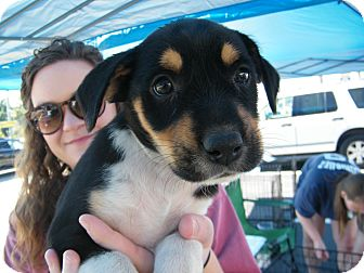 Border Collie Mix Puppy for adoption in Macon, Georgia - Dani