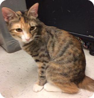 Domestic Shorthair Cat for adoption in Houston, Texas - Briar Rose