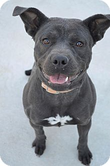 Pit Bull Terrier/Pug Mix Dog for adoption in Prince George, Virginia - Lilly