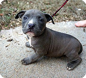 Bulldog/Staffordshire Bull Terrier Mix Puppy for adoption in West Nyack, New York - Juniper