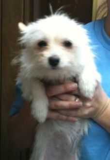 Terrier (Unknown Type, Small) Mix Dog for adoption in Baton Rouge, Louisiana - Francine03022012