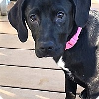 Adopt A Pet :: Lola-adoption pending - Schaumburg, IL