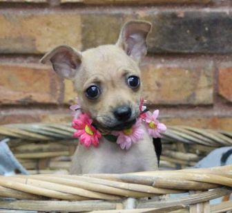Chihuahua Mix Dog for adoption in Fort Worth, Texas - Lily